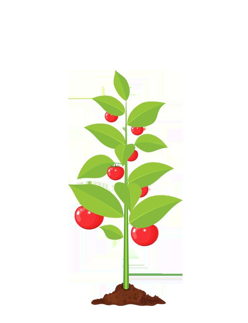 tomato-before